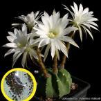 エキノプシス 大豪丸(Echinopsis subdenudata)の種子