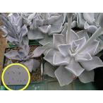 エケベリア ストリクティフローラ ブスタマンテ(Strictiflora Bustamante)の種子