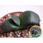 ガステリア 臥牛 スーパーワイドリーフ(Gasteria armstrongii super wide leaf)の種子