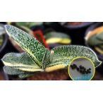 ガステリア 臥牛ハイブリッド 'Spotted Tiger'(斑入り)(Gasteria cv 'Spotted Tiger' variegate)の種子