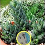 ハオルチア 鷲の爪(Haworthia coarctata)の種子