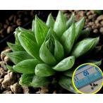 ハオルチア・クーペリ・ピクツラータ(Haworthia cooperi v. picturata)の種子