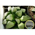 ハオルチア 星影(ほしかげ)(Haworthia Hoshikage)種子
