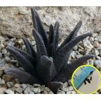 ハオルチア・ソルディダ(HAWORTHIA sordida)の種子