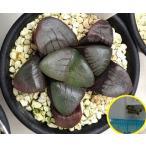 ハオルチア・スプリングボクブラケンシス(Haworthia springbokvlakensis ) 種子