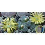 リトープス双眸玉(Lithops geyeri C274)の種子