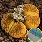 リトープス・白花日輪玉 C392(Lithops aucampiae 'Storms Snowcap' C.392)の種子