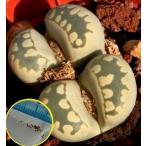 リトープス 大津絵(Lithops otzeniana)の種子