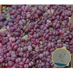 リトープス・オプティカ・ルブラ(Lithops Optica rubra)のフレッシュ種子