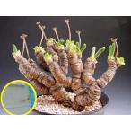 succulent_suc-mlr-monilaria-moniliformis