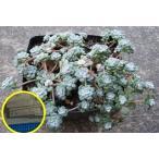 セダム 白雪ミセバヤ(Sedum pruinosum)の種子