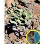 トラキアンドラ・トルチリス(Trachyandra tortilis)の種子