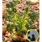 アルブカ  スピラリス 種子