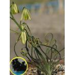 アルブカ・ビスコーサ(albuca viscosa)の種子
