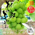 桃太郎ぶどう パック入り 約400g×4パック 鳥取県琴浦町 横山ブドウ園産 9月上旬頃より発送