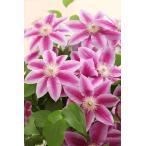母の日 鉢植え クレマチス 母の日 花 プレゼント 母の日ギフト  色は当店にお任せです