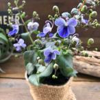 可憐な花 ブルーバタフライ ガーデニング 花