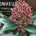 ルベラ スキミア 高級な花 ガーデニング