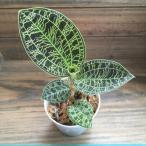 観葉植物 キラキラ光る葉脈 マコデス ジュエルオーキッド 宝石蘭