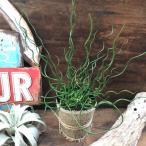 観葉植物 ラセンイ おしゃれプランツ くるくる 観葉植物