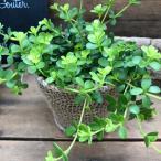 育てやすい デピーナ ペペロミア 観葉植物 ガーデンニング