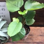 おしゃれな観葉植物 ウンベラータ インテリア