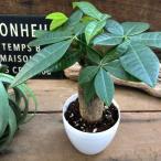 観葉植物 パキラ 幹が太い ミニサイズ 観葉植物 インテリア