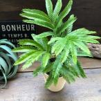 観葉植物 エバーフレッシュ 空気清浄の木 夜眠る木 観葉植物