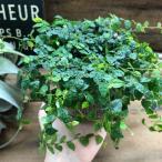 観葉植物 プミラ ワイヤープランツ グリーンインテリア 観葉植物
