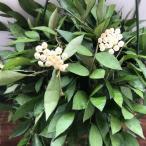吊り下げフック付き ホヤ ラクノーサ 観葉植物 可愛い花