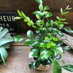 シルクジャスミン 観葉植物 ガーデニング