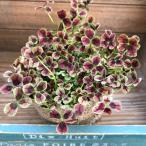 観葉植物 四つ葉のクローバー ドリーム 幸せを呼ぶ