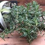 這うローズマリー 這性 ハーブ 観葉植物