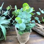 観葉植物 最も美しい銀葉 シルバーダラー ユーカリ 観葉植物