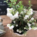 真珠の木 ホワイト パールツリー 可愛い実つき