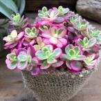 多肉植物 希少 マジカルキューティ 斑入りポーチュラカ ピンク ガーデニング 多肉植物
