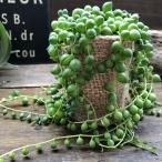 多肉植物 グリーンネックレス ミニサイズ 多肉植物 垂れさがり
