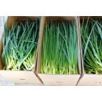 業務用 農園 直送 朝採れ細ねぎ 10Kg入(農家直送の為、他商品と同梱はできません) 送料無料
