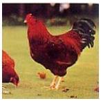 国産地鶏 比内地鶏 中抜き 1.8-2.5Kg 1羽丸鳥 秋田県産 鶏肉 冷凍品 業務用