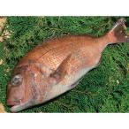 グルメ 冷凍食品 業務用 刺身用 養殖 真鯛 (皮付) 片身 (魚体1kgサイズ) 20870 弁当 三重 尾鷲 処理済 さしみ 2021年新商品 魚介類