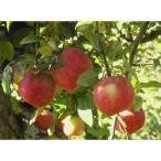 りんご こうとく 高徳 1.5kg 小玉 送料無料 ご家庭用 山形県産 産地直送