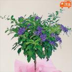 母の日プレゼント 花 鉢植え デュランタ 宝塚 母の日ギフト 贈りもの お母さん ありがとう