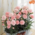 母の日プレゼント 花 鉢植え カーネーション マシュマローズ 母の日ギフト 贈りもの お母さん ありがとう