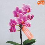 母の日プレゼント 花 鉢植え マイクロ 胡蝶蘭 グラスモス 母の日ギフト 贈りもの お母さん ありがとう コチョウラン