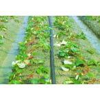 灌水ホース スミサンスイM 100m×1巻 住化農業資材