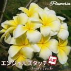 プルメリア苗 : 6月中旬より発送 / AngelsTouch エンジェルズタッチ 5号鉢 スタンダード品種