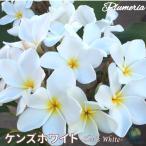 プルメリア苗 Ken'sWhite ケンズホワイト 5号鉢 ☆スタンダード品種☆ 【 育て方パンフレット同梱 】
