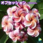 プルメリア苗 : 予約商品 6月より発送 / Obsession オブセッション 5号鉢 スタンダード品種