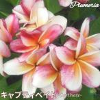 プルメリア苗 : 予約商品 6月より発送 / Captivate キャプティベイト 5号鉢 スタンダード品種