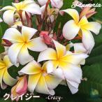 プルメリア苗 : 予約商品 6月より発送 / Crazy クレイジー 5号鉢 スタンダード品種